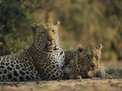 Two Full Grown Leopards