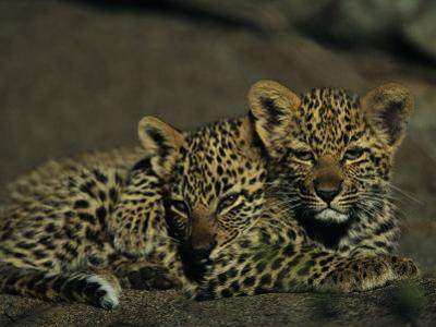 Two Sleepy Four-Month-Old Leopard Cubs Huddled Together