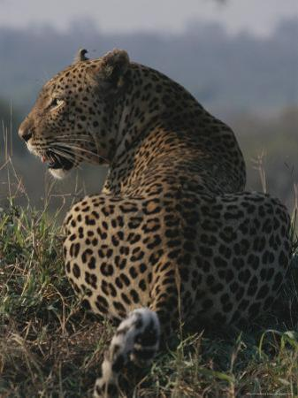 View From Behind of a Resting Leopard