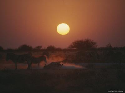 Zebra Takes a Dust Bath as Others Stand Around at Twilight