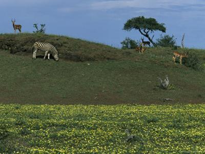 Zebras and Impalas Grazing on a Grassy Hill