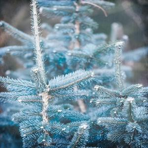 Blue Spruce 1 by Kimberly Allen