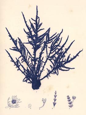 Blue Botanical Study II by Kimberly Poloson