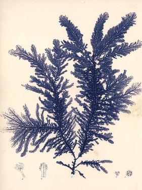Blue Botanical Study IV by Kimberly Poloson