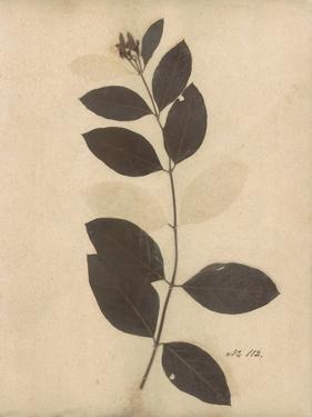 Pressed Botanical I by Kimberly Poloson
