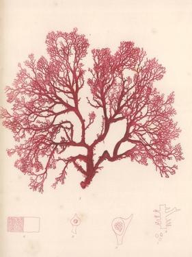 Red Botanical Study I by Kimberly Poloson