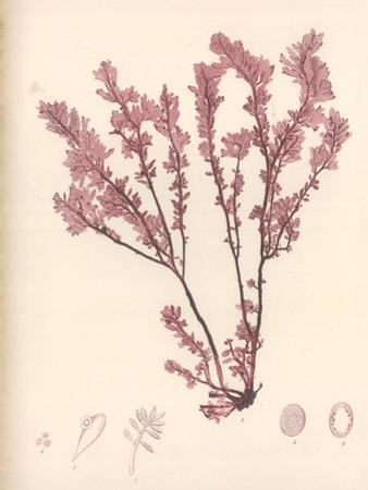 Red Botanical Study III
