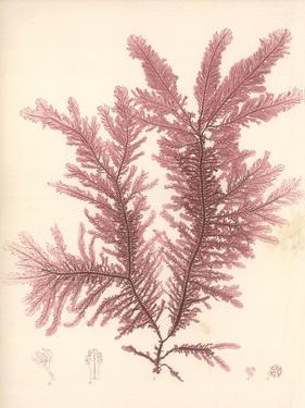Red Botanical Study IV by Kimberly Poloson