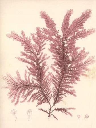 Red Botanical Study IV