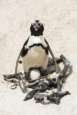African Penguin Sitting on an Egg (Jackass Penguin), Foxy Beach, Boulders Beach National Park by Kimberly Walker