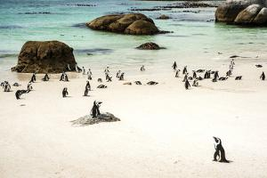 African Penguins at Foxy Beach, Boulders Beach National Park, Simonstown, South Africa, Africa by Kimberly Walker
