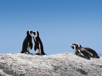 African Penguins (Jackass Penguins) Touching Beaks as If Embracing by Kimberly Walker