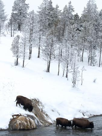 American Bison (Bison Bison) Crossing a River in Yellowstone National Park in Winter, UNESCO World  by Kimberly Walker