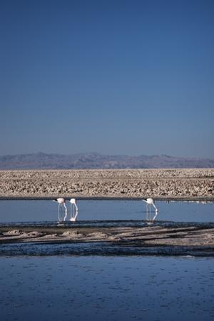 Andean Flamingoes at Laguna De Chaxa (Chaxa Lake), San Pedro, Chile, South America by Kimberly Walker