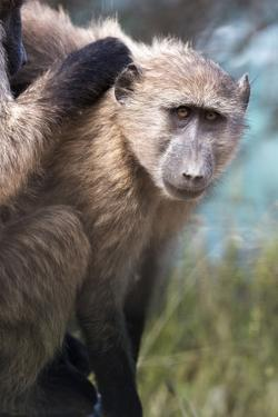 Chacma Baboon (Papio Ursinus), Cape of Good Hope, Table Mountain National Park by Kimberly Walker