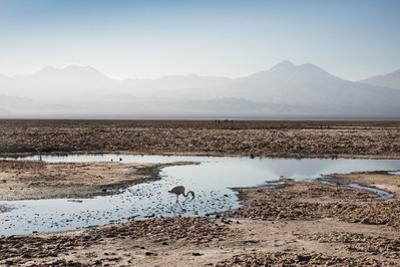 Flamingo Standing in Water at Laguna De Chaxa (Chaxa Lake) at Dawn, San Pedro, Chile, South America by Kimberly Walker