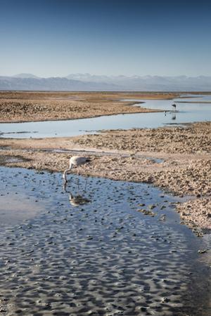 Flamingoes in Shallow Water at Laguna De Chaxa (Chaxa Lake) at Dawn, San Pedro, Chile by Kimberly Walker