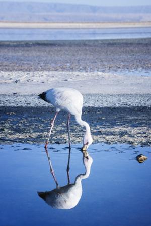 Puna (James) Flamingo (Parina Chica) Wading in Shallow Water at Laguna De Chaxa (Chaxa Lake) by Kimberly Walker