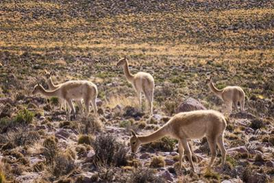 Vicuna (Vicugna Vicugna) Camelids Grazing on Desert Vegetation, Atamaca Desert, Chile by Kimberly Walker