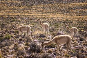 Vicuna (Vicugna Vicugna) Camelids Grazing on Desert Vegetation, Atamaca Desert, Chile by Kimberly Walker