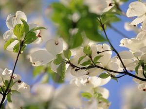 Dogwood Trees in Bloom, Jamaica Plains, MA by Kindra Clineff