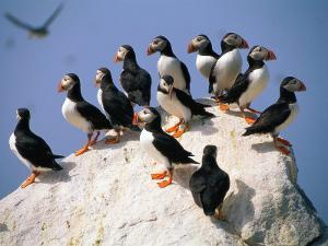 Puffins on Rock at Machias Seal Island by Kindra Clineff