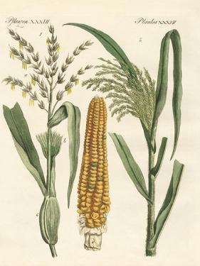 Kinds of Corns