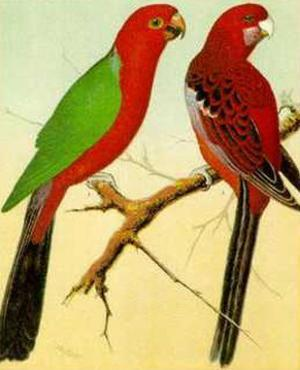 King and Pennant Parrots