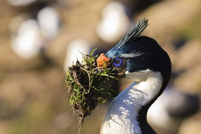 https://imgc.allpostersimages.com/img/posters/king-cormorant-imperial-cormorant-phalacrocorax-atriceps-with-nesting-material_u-L-PQ8S3N0.jpg?p=0