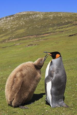 https://imgc.allpostersimages.com/img/posters/king-penguin-aptenodytes-patagonicus-feeding-chick-inland_u-L-PQ8UZ50.jpg?p=0