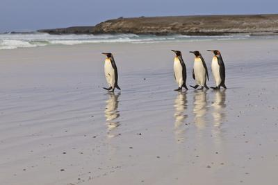 https://imgc.allpostersimages.com/img/posters/king-penguins-aptenodytes-patagonicus-in-a-line-on-a-white-sand-beach_u-L-PQ8NAN0.jpg?p=0