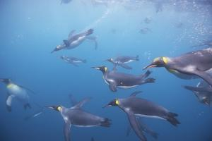 King Penguins Underwater at South Georgia Island