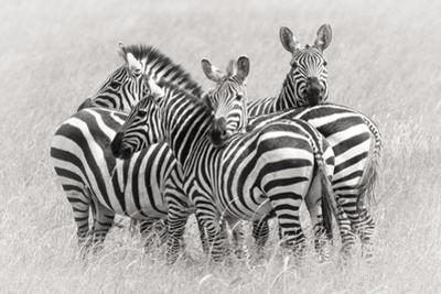 Zebras by Kirill Trubitsyn