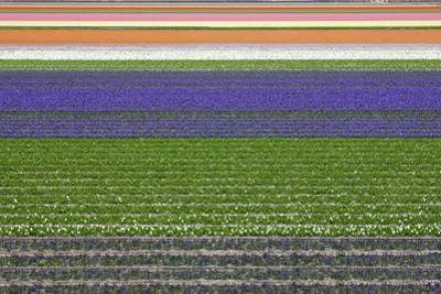 Colorful Fields of Tulips and Hyacinth in Netherland. by kirilstanchev