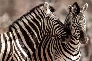 Kissing Zebras in the Wild Animal Picture Plastic Sign