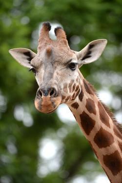 Giraffe by Kitch Bain
