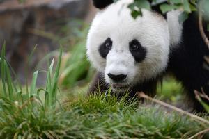 Panda by Kitch Bain