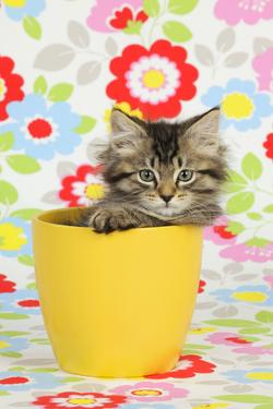 Kitten (7 Weeks Old) in Plant Pot