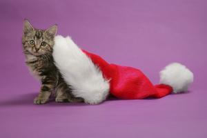 Kitten in a Christmas Hat
