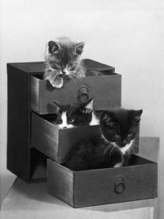 Kitten in Each Drawer