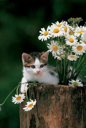 Kitten With Camomiles