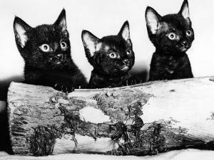 Kittens Hiding Behind Log. November 1965