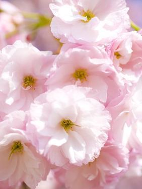 Cherry blossoms by Kiyoshi Miyagawa