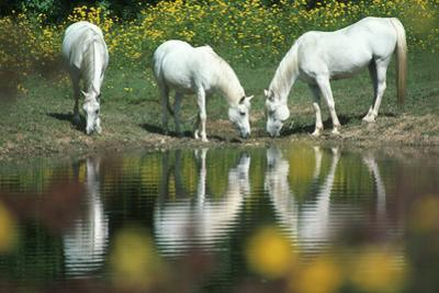 Anim031 Chincoteague Wild Ponies, VA