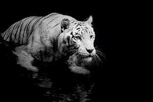 White Tiger by Kjersti