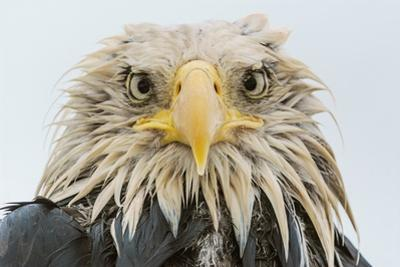 A Bald Eagle, Haliaeetus Leucocephalus, after Several Days of Heavy Rainfall by Klaus Nigge