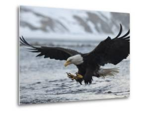A Bald Eagle, Haliaeetus Leucocephalus, Fishing by Klaus Nigge