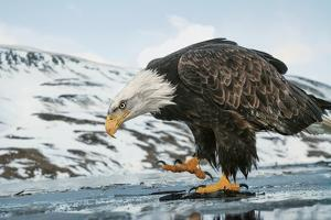 A Bald Eagle, Haliaeetus Leucocephalus, Walking on the Shore of a Frozen Lake by Klaus Nigge