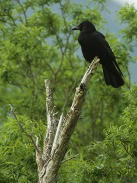 A Crow Perched on an Old Dead Tree Snag by Klaus Nigge