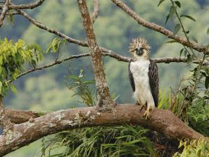 A female Philippine eagle perches on a branch beside her nest by Klaus Nigge